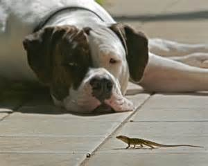 Lizard and dog