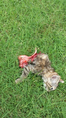 2015-05-21 16.21.26 Case #315630 kitten 1 front