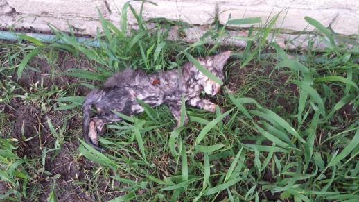 2015-05-21 18.48.14 Case #315630 Kitten 2