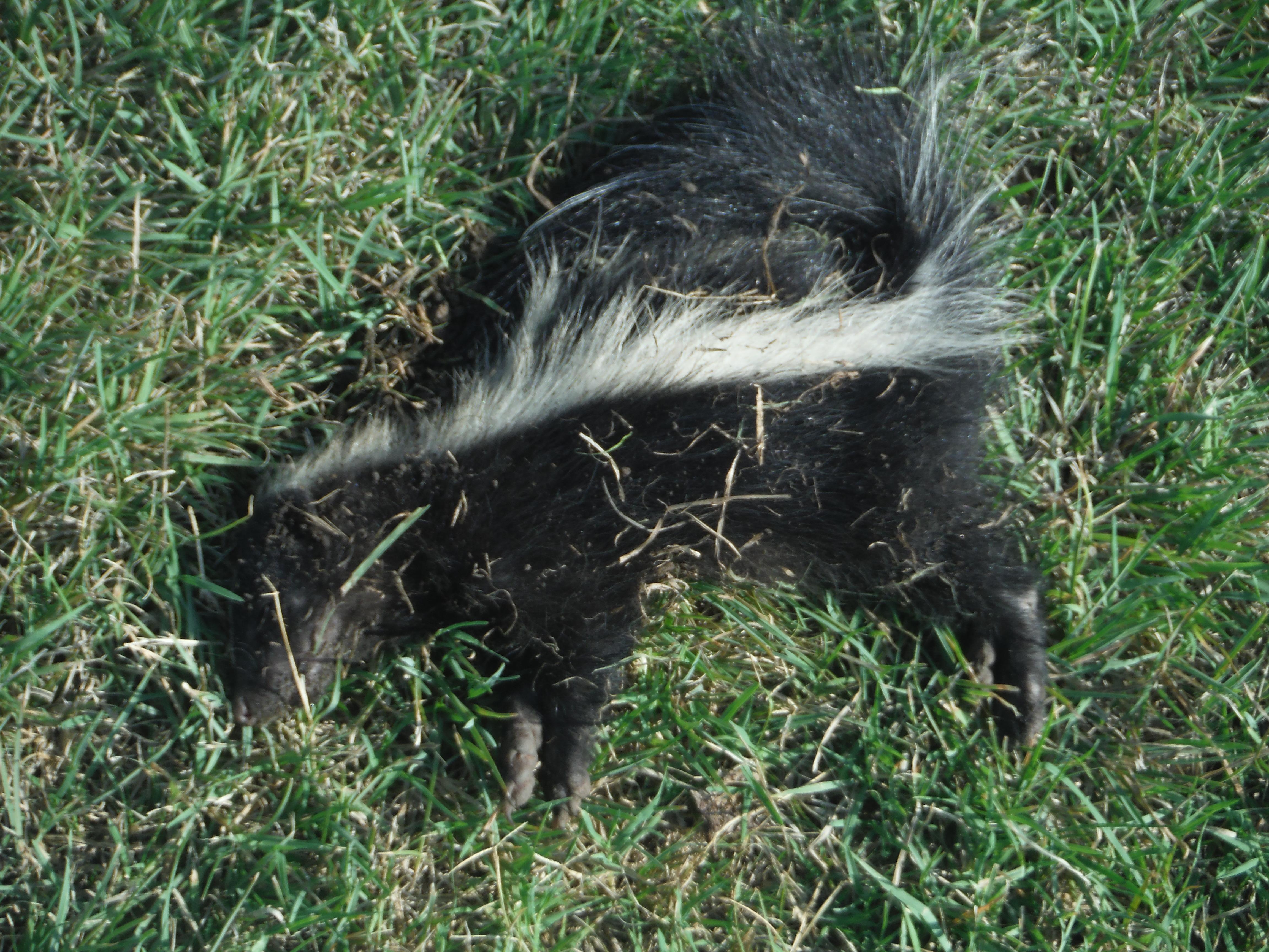 skunk indersandhu