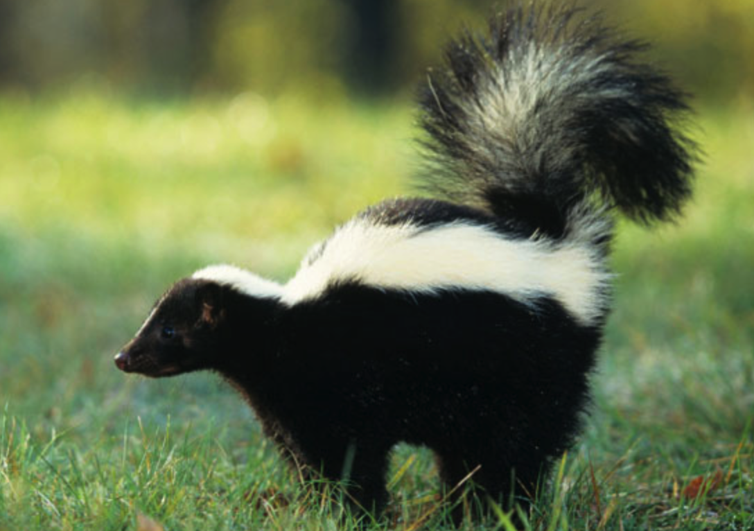 how to live trap a skunk